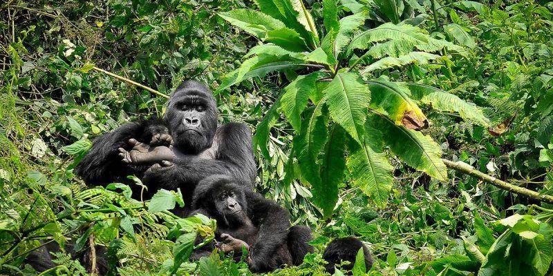 4 DAYS - MOUNTAIN GORILLA TREkKING IN RWANDA