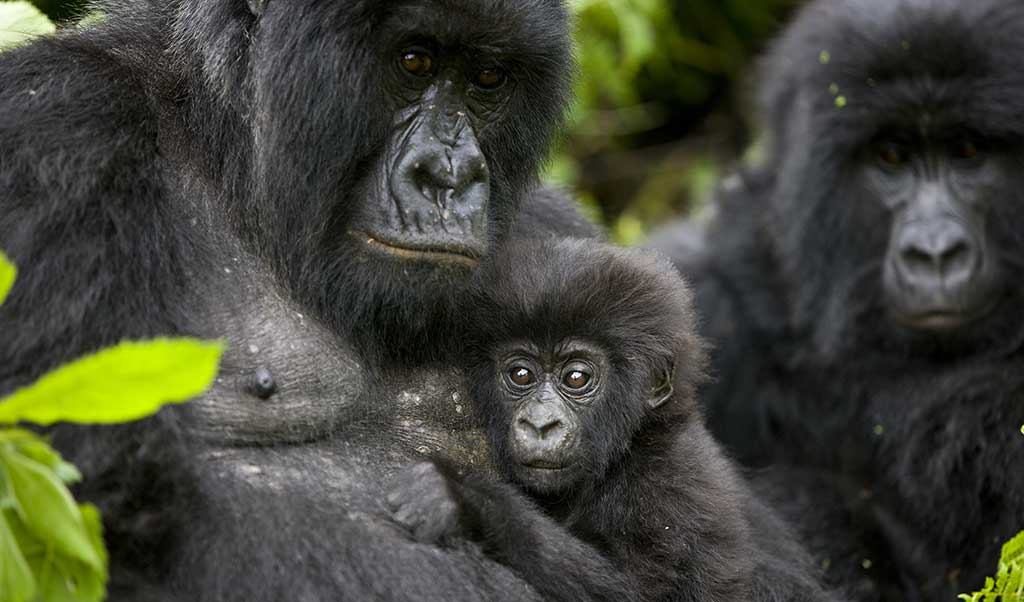 A visit with a gorilla family is a life changing experience